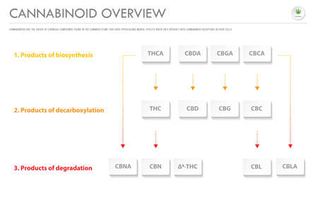 Cannabinoid Overview horizontal business infographic illustration about cannabis as herbal alternative medicine and chemical therapy, healthcare and medical science vector.