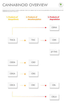Cannabinoid Overview vertical business infographic illustration about cannabis as herbal alternative medicine and chemical therapy, healthcare and medical science vector. 向量圖像