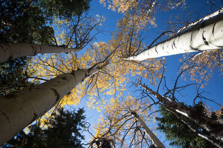 Aspen Trees Touching the Sky