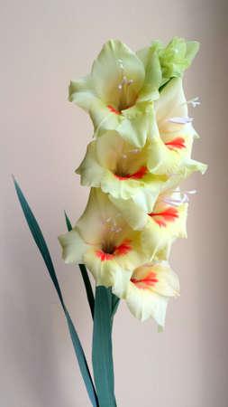 gladiolus: Flower - Gladiolus Stock Photo
