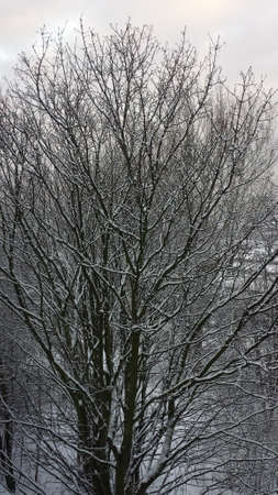 snowcovered: Snow-covered tree on a cloudy day