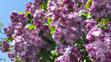 Lilacs. Photo close up on lilac flowers in purple colors. Illuminated by sunlight