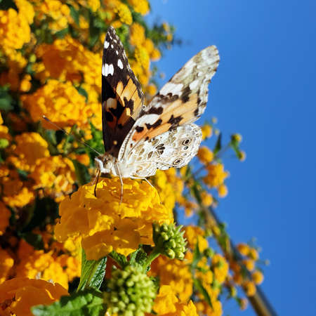 Butterfly on yellow flowers. Closeup.