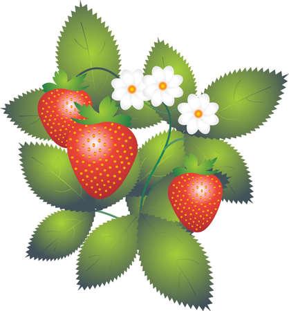 Strawberry Stock Photo - 4951186