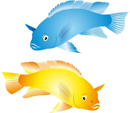 aquarium hobby: Illustration of a colorful tropical fish of the cichlid family isolated on white background