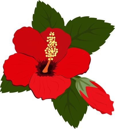 Three beautiful red hibiscus flowers with leaves on white background