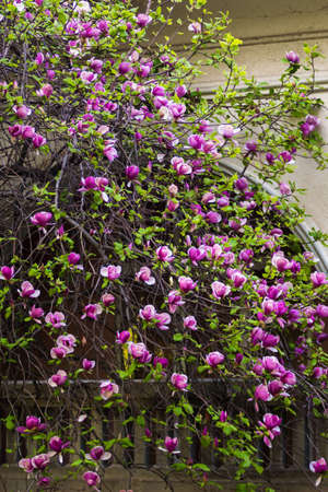 Spring in Uzhgorod. The branches and flowers are blooming. Greens and purples, pinks. Bushes and trees. Spring mood. Rich and vibrant color. Romance