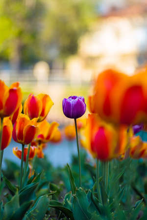 Close-up of orange and purple tulips in Uzhgorod. Flowers and flora. Spring. Bright colors. Greenery. Urban vegetation. One of the tulips is different from the rest Stock Photo