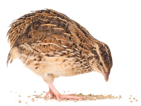 Young quail isolated on white background photo