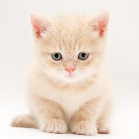 kotek: Brytyjscy Fold kocięta