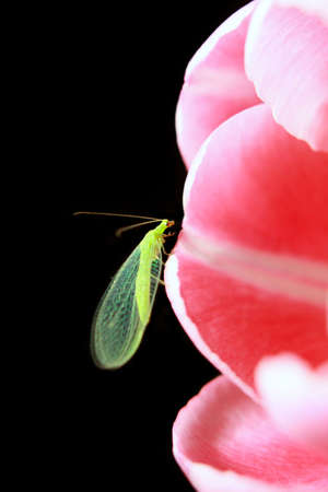 Green lacewing (insect in the family Chrysopidae of the order Neuroptera) sitting on the tulip petal agains black background photo