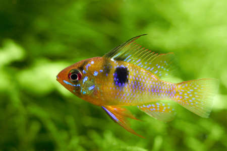 ramirezi: Papiliochromis ramirezi called Butterfly fish in a nature aquarium in Amano style Stock Photo