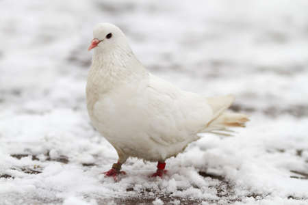 beak doves: A white dove sits on the first snow in late autumn Stock Photo