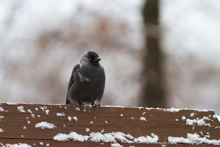Jackdaw sits on a snow-covered back of the bench against blurred background. It is snowing and the daw is frozen. photo