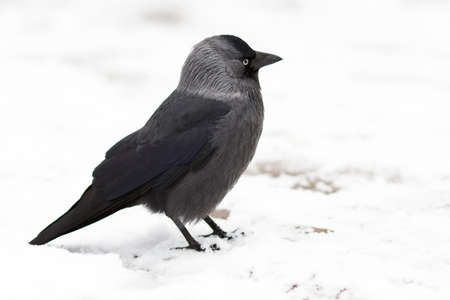 The young crow is sitting on the first snow Stock Photo - 8225427