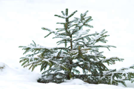 Snow covered little green pine tree  photo