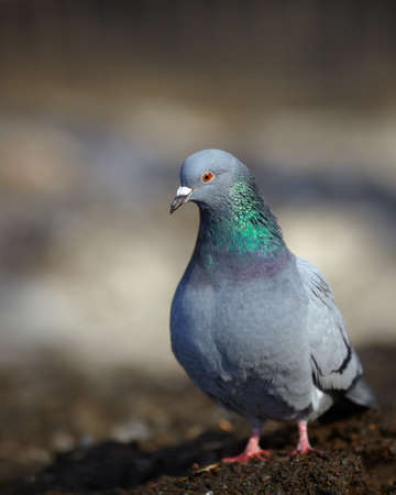 beak doves: One pigeon on city street in sunny spring day. Very shallow dof