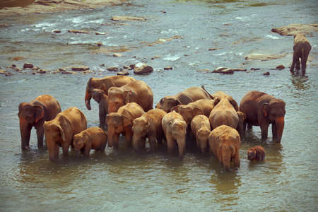 Large group of elephants with cubs crosses the river photo