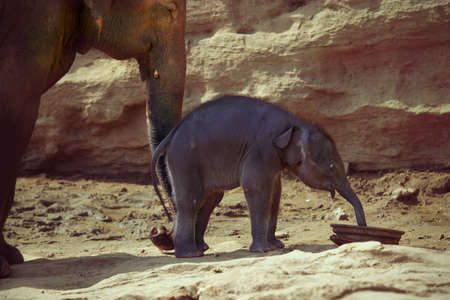 calf cow: Funny elephant calf plays with its mother on sunny day