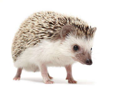 Curious african pygmy hedgehog isolated on white