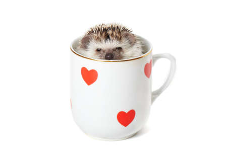 Funny african pygmy hedgehog pokes its head out of the mug Stock Photo