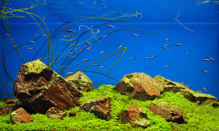 neon tetra: Freshwater aquarium with rocks, grass and fishes Stock Photo
