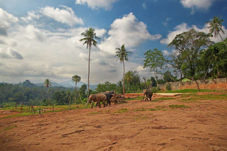trampled: A small group of elephants walking on the trampled area Stock Photo