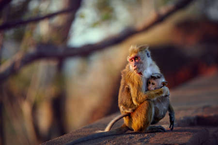 alarmed: Baby monkey cuddling tightly at its mothers chest