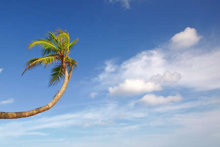 Palm tree stretches up to the white clouds in the blue sky photo