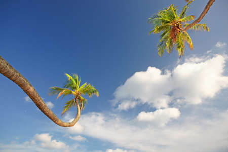 Two arched green palm trees are stretch to the white clouds in the blue sky photo
