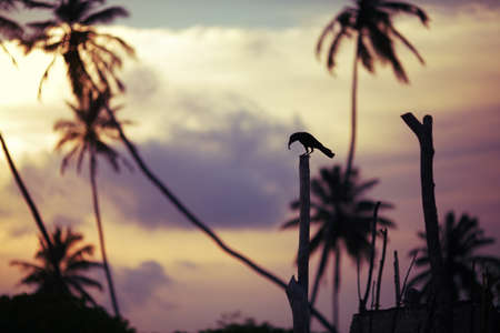 poco: Silueta de un cuervo y las palmas contra la puesta de sol. Pájaro mantiene presa en el pico. La imagen es un poco de miedo. Foto de archivo
