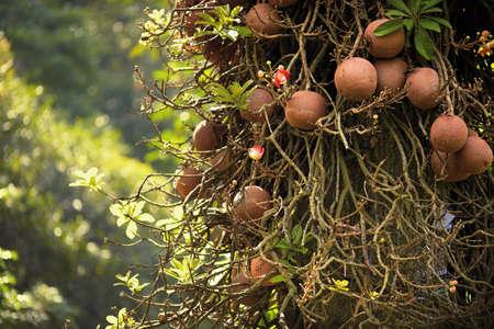 srilanka: Couroupita guianensis known as cannonball tree in Royal botanic gardens. Peradeniya, Sri-Lanka