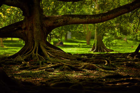 magical forest: Mysterious trees in a magical forest. Twisted roots and thick branches Stock Photo