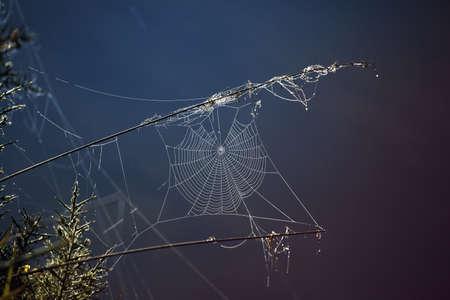 glistening: Spider web all in dew drops glistening in the morning sun