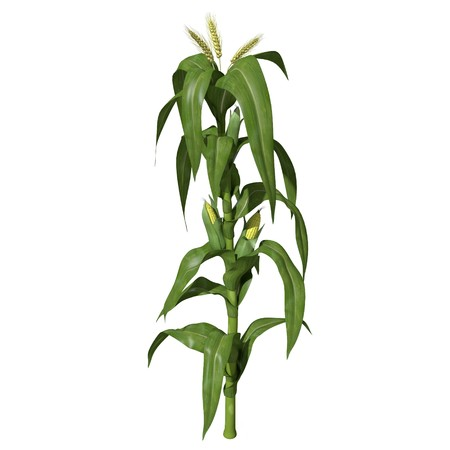 corn stalk: 3d illustration of a corn stalk Stock Photo