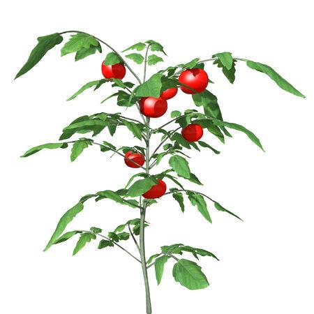 3d illustration of a tomato plant Stock Photo