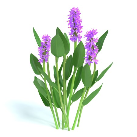 3d illustration of purple pickerel rush flowers