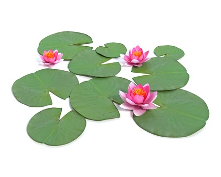 lily pad: 3d illustration of a water lily