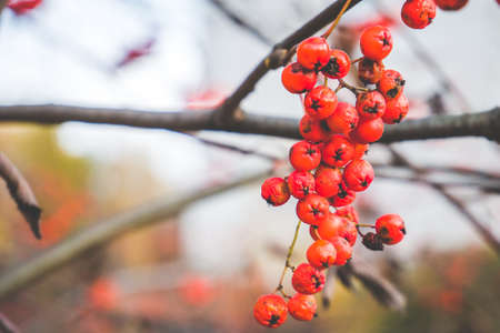 Close up of bright red rowan berries on autumn brunch Stock Photo