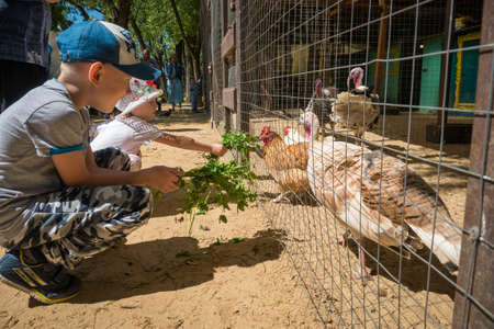 MOSCOW - JULY 2, 2018: Children feeding fresh grass to domestic hens and turkeys in coop learning about farm animals and ecology