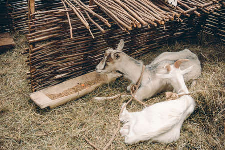 Couple of goats lying and resting on straw bedding behind wattle fencing 写真素材