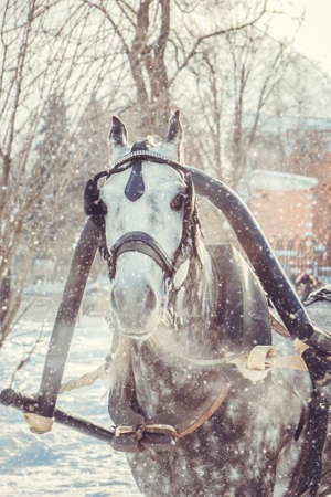 Close up of dapple-gray horse with grey mane in harness breathing air on freezing snowy winter day