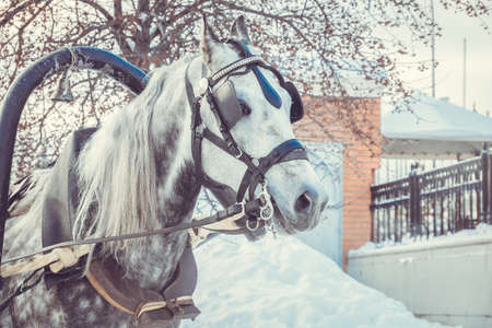 Dapple-gray horse with grey mane in harness on snowy day. Winter holiday entertainment.