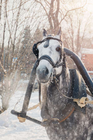 Dapple-gray horse with grey mane in harness breathing air on cold snowy day