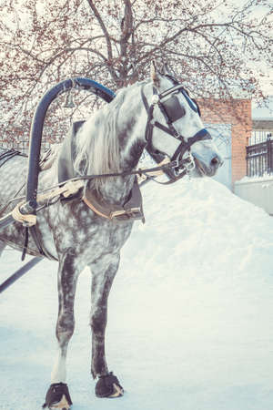 Beautiful dapple-gray horse with grey mane in harness on snowy day. Winter holiday entertainment. Stock Photo - 120942048