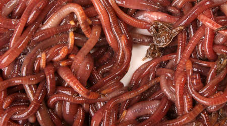 Close-up detailed image of South African earth worms. Stock Photo - 1787246