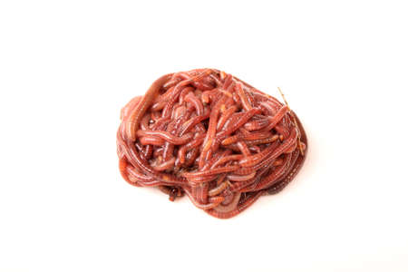 Close-up detailed image of South African earth worms. Stock Photo - 1787249
