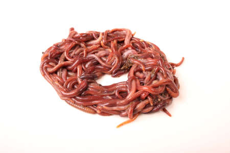 yuck: Close-up detailed image of South African earth worms.