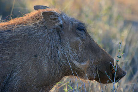 A close-up photo of a wild hog in South-Africa game park, Kruger Game Park photo