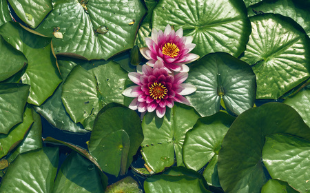 pink water lily flowers on a background of large green leaves